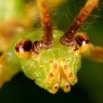 Phyllium philippinicum – liściec jesienny