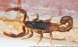 Hottentotta hottentotta – skorpion
