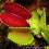 Dionea muscipula – muchołówka amerykańska