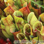 Sarracenia spp. – kapturnica