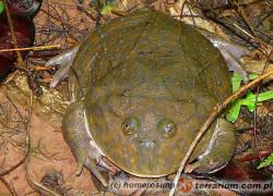 Lepidobatrachus laevis – żaba budgetta
