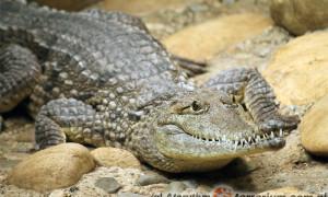Systematyka współczesnych krokodyli