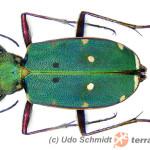 Carabidae – biegaczowate