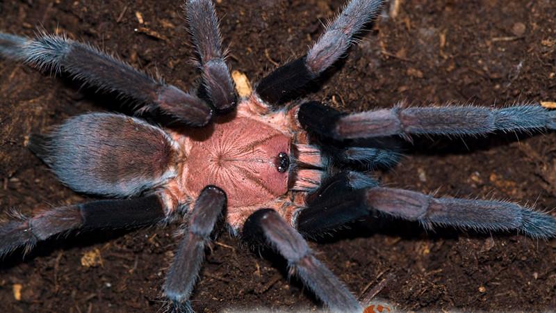 Orphnaecus dichromatus
