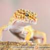 Eublepharis macularius - eublefar lamparci (gekon lamparci*