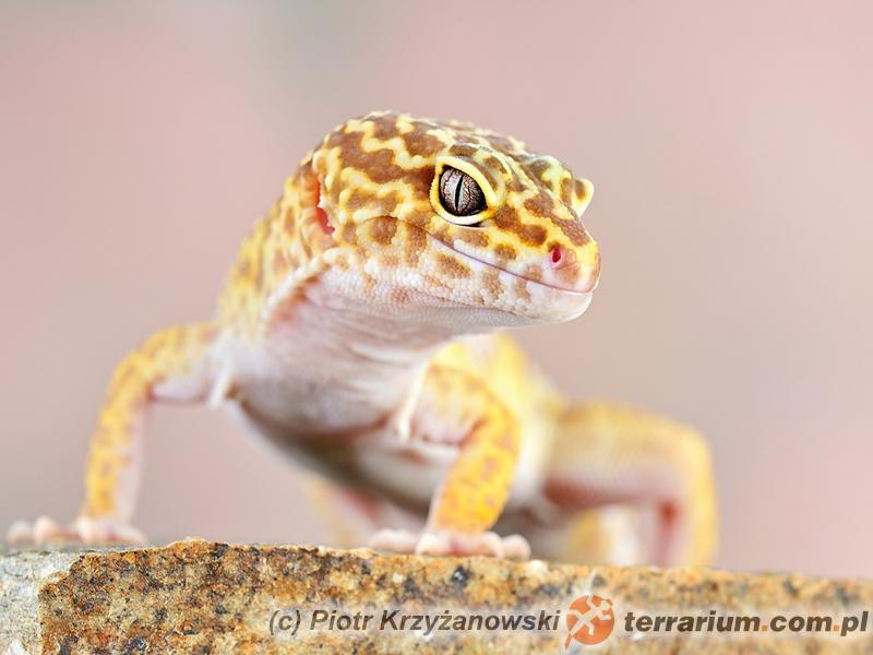 Eublepharis macularius - eublefar lamparci (gekon lamparci*)