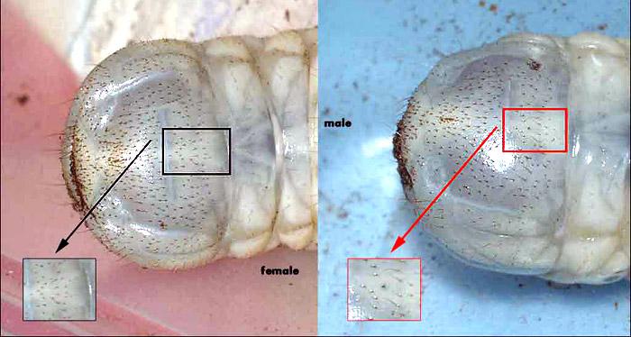 Rozpoznawanie płci larw, jest przedstawione na przykładzie larw Chelorrhina polyphemus confluens - Dicronorrhina derbyana