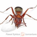 Formica spp. – mrówki
