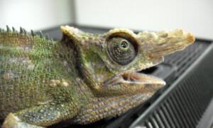 Kameleony – problemy zdrowotne