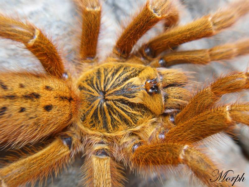 """Samica - Odmiana """"RCF"""" - Pterinochilus murinus - ptasznik słoneczny"""