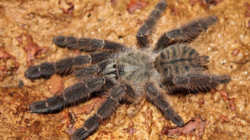 """Cyriopagopus sp. """"Sulawesi black"""""""