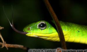 Cyclophiops major – wąż dżdżownicożer