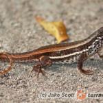 Leiocephalus personatus – tropidur maskowy, legwanik pustynny*, legwan haitański**
