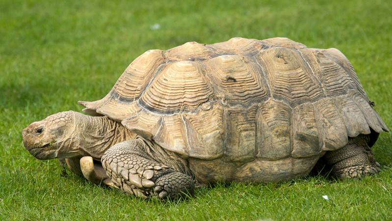 Centrochelys (Geochelone) sulcata – żółw pustynny