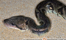 Acrantophis sp. – boa madagaskarskie
