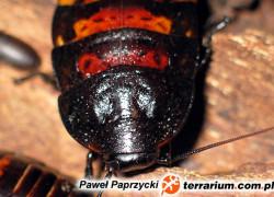 Gromphadorhina portentosa – karaczan madagaskarski