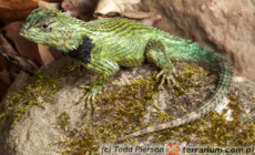 Sceloporus malachiticus – legwan malachitowy*