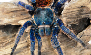 Chromatopelma spp.