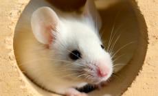 Mus musculus – mysz domowa – dziedziczenie odmian barwnych (ras)