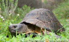 Testudo marginata – żółw obrzeżony