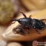 Sitophilus granarius – wołek zbożowy