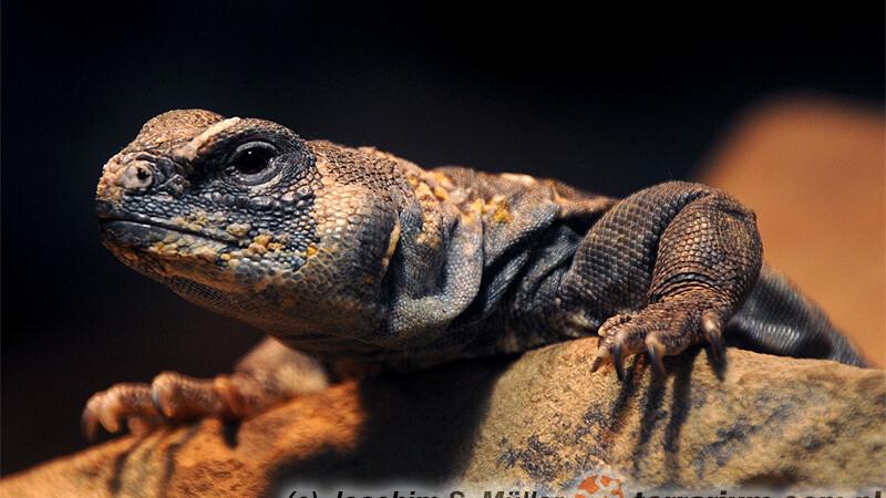Uromastyx ocellata – biczogon oczkowany