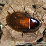 Anallacta methanoides