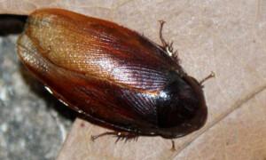 Pycnoscelus striata