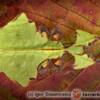 Phyllium giganteum - liściec olbrzymi