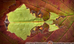 Straszyki, patyczaki, liśćce – początki hodowli