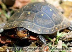 Clemmys guttata – żółw cętkowany