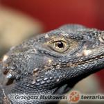 Sauromalus ater – czakuela zwyczajna