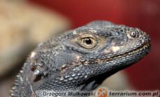 Sauromalus ater – czakuela zwyczajna, czakuela północna