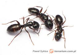 Podziel się informacją, czyli jak mrówki się komunikują