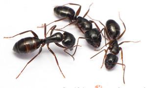 Camponotus spp.