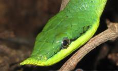 Rhynchophis boulengeri – rogowąż Boulengera
