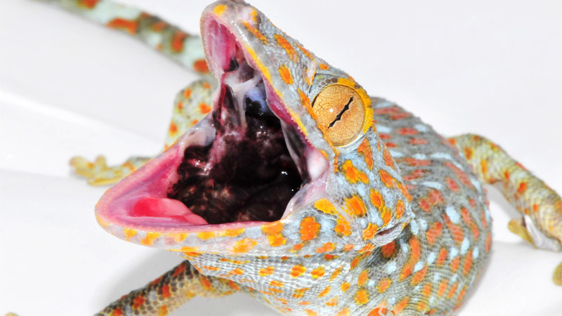 Gekko gecko – gekon toke