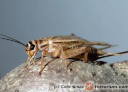 Acheta domesticus – świerszcz domowy