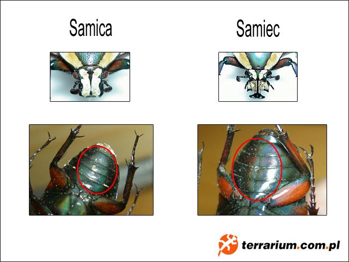 Dymorfizm płciowy - Dicronorrhina derbyana conradsi
