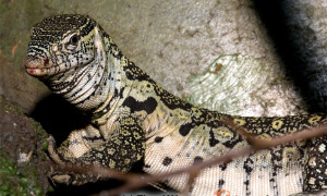 Varanus niloticus – waran nilowy