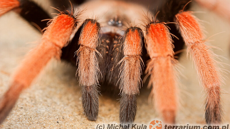 Theraphosidae – ptasznikowate, ptaszniki