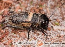 Gryllus campestris – świerszcz polny