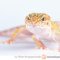 Eublepharis macularius – gekon lamparci*, eublefar lamparci