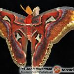Attacus atlas – pawica atlas