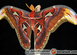 Attacus atlas – pawica atlas