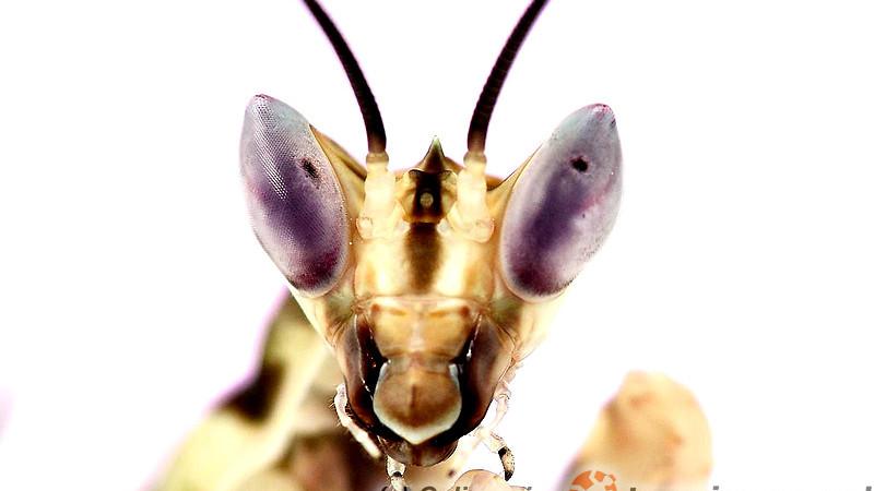 Creobroter elongatus