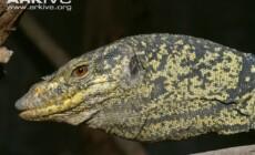 Varanus olivaceus
