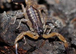 Tityus ecuadorensis
