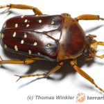 Stephanorrhina spp.