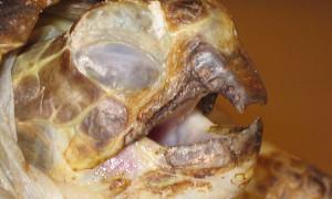 Herpeswiroza żółwi